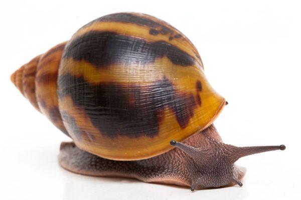 Правила ухода и содержания в домашних условиях гигантских улиток ахатин: фото видов, что едят, сколько живут, размножение, применение в косметологии